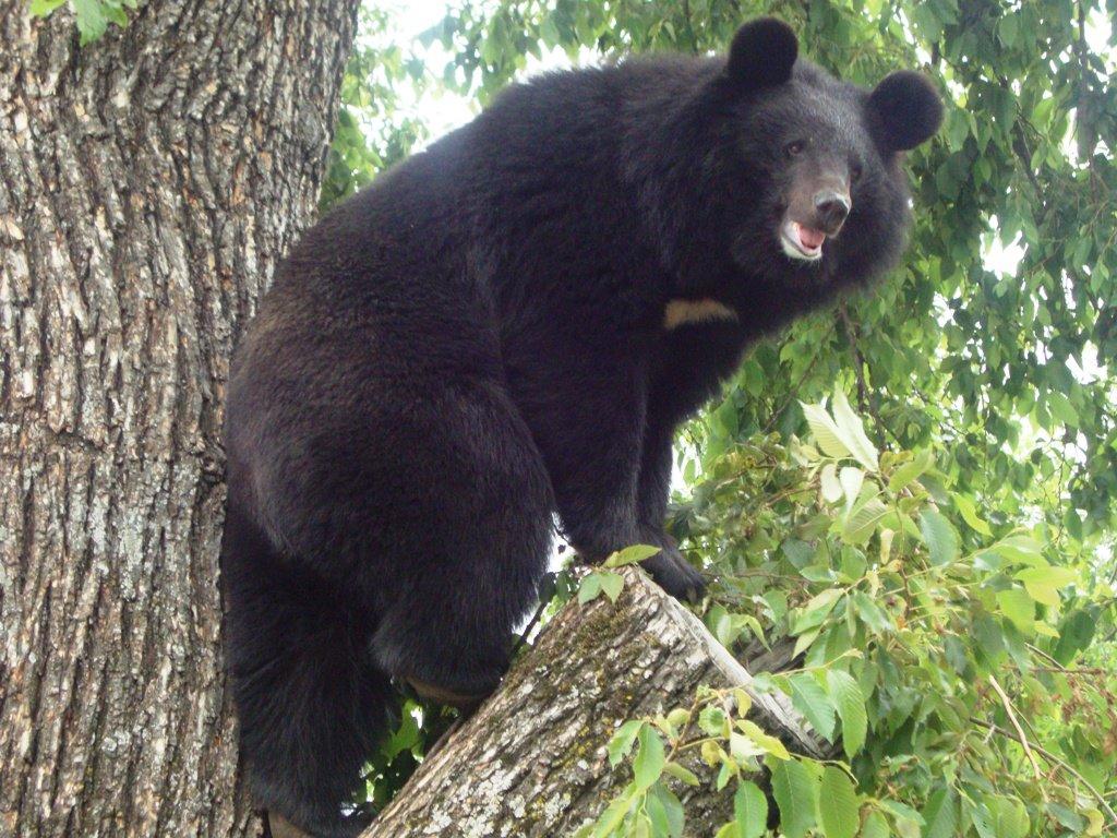 Video selfies asiatic black bear pictures xxx website real